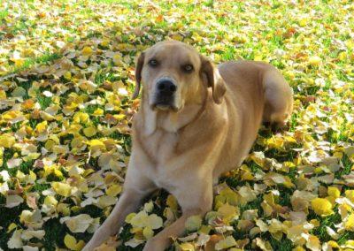 Yukon and Leaves (Large)